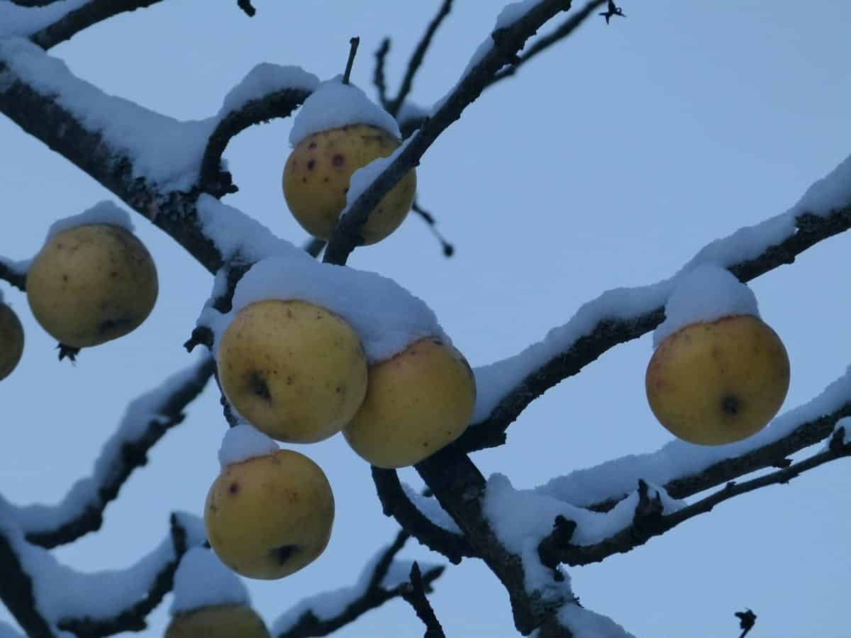 Winter Care for your Garden: Fruit Trees