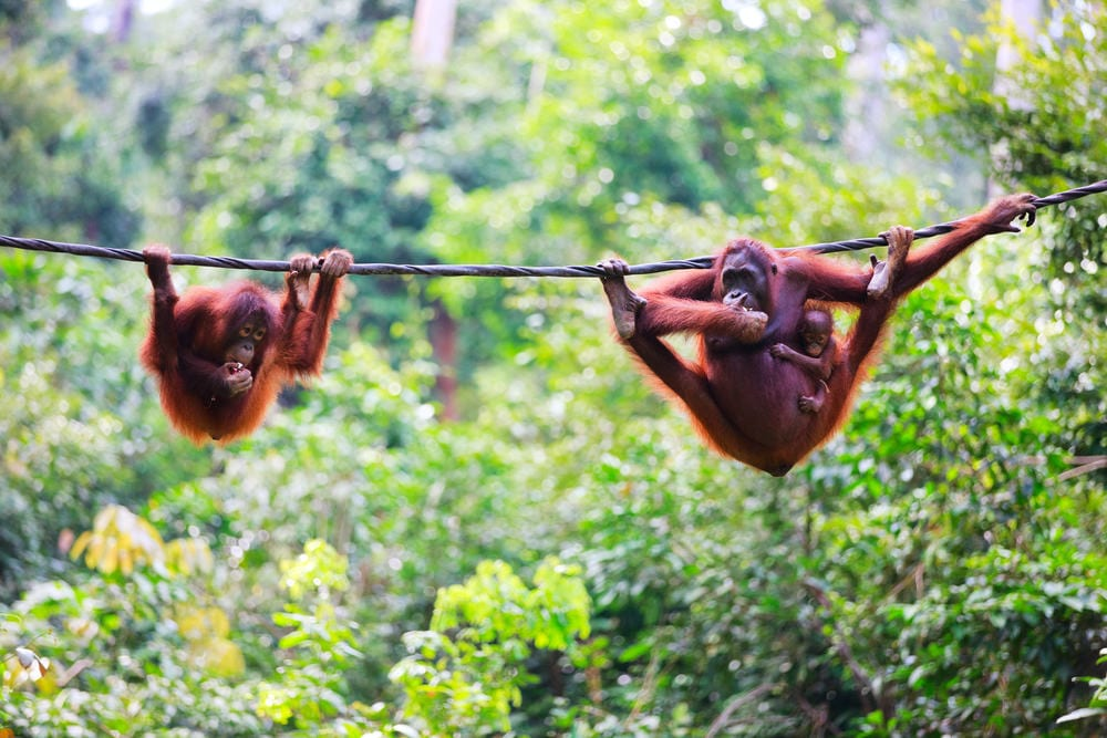 Mother, baby and child orangutans from Sabah in Malaysian Borneo
