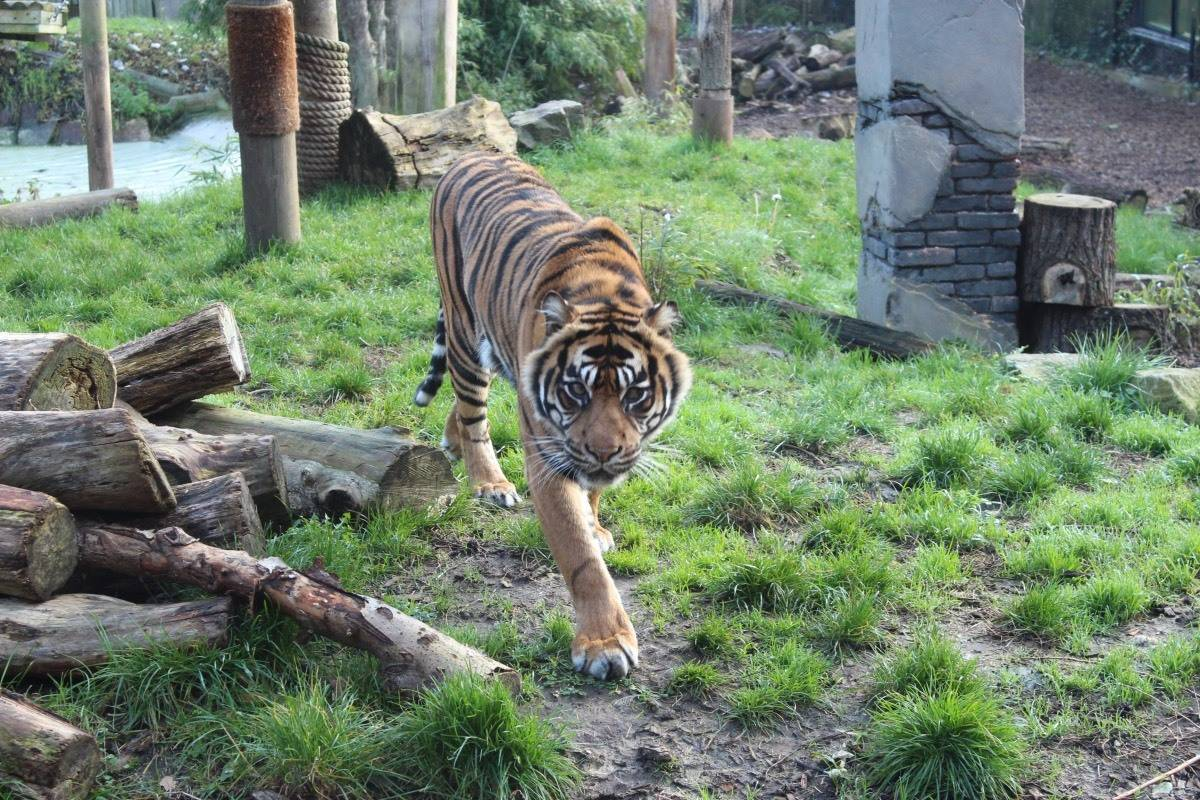 A Winter's Tale at Chessington World of Adventures - Tiger