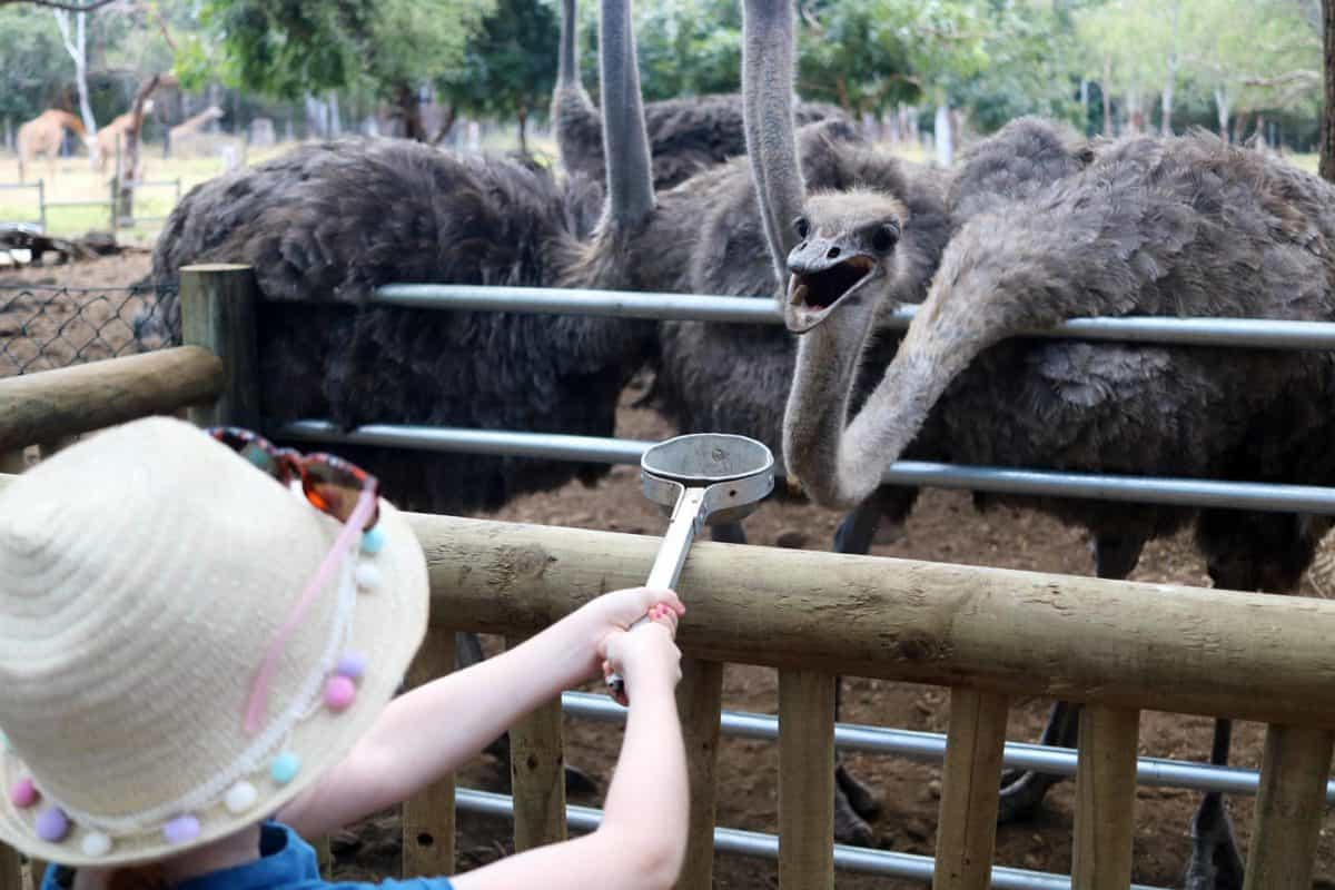 A Day at Casela World of Adventures - Mauritius feeding ostriches