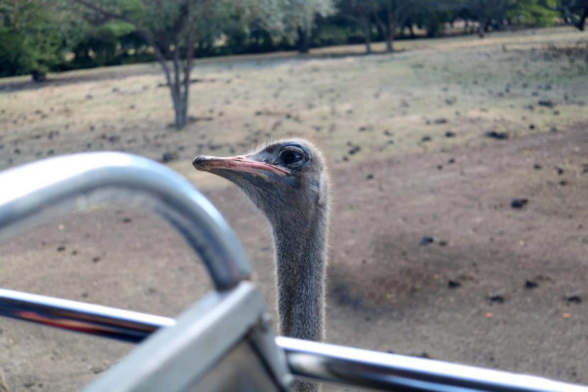 A Day at Casela World of Adventures - Mauritius ostrich