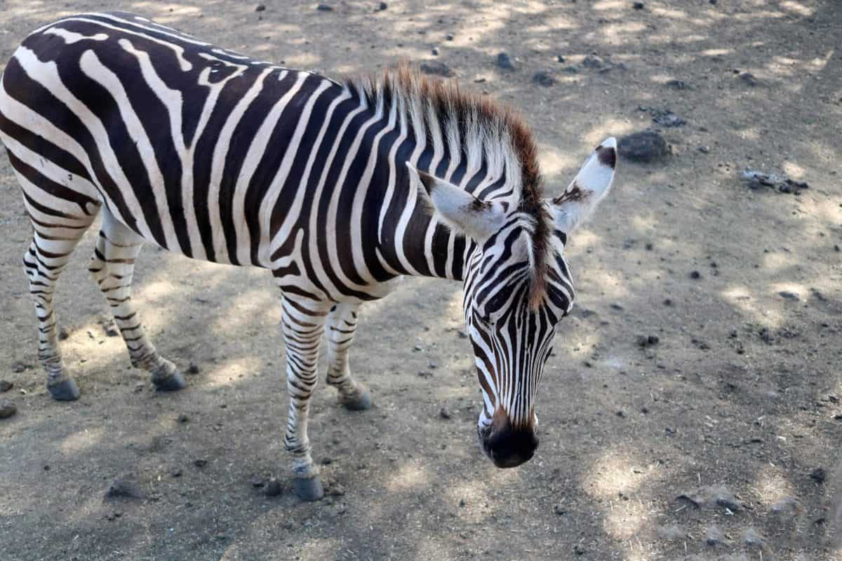 A Day at Casela World of Adventures - Mauritius zebra