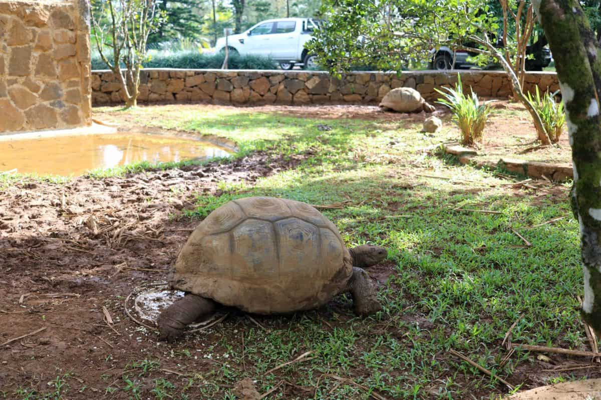 A Morning at TerrOcean Le Domaine de l'Etoile Mauritius - Giant Tortoise
