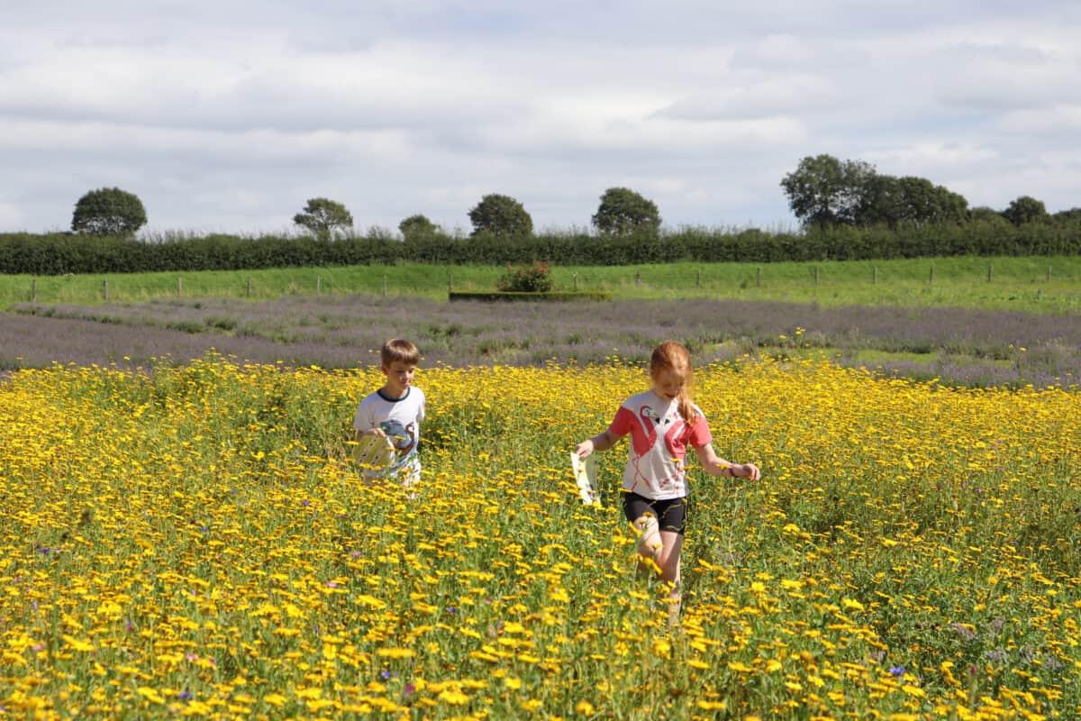 The Lavender Fields - Selborne, Hampshire